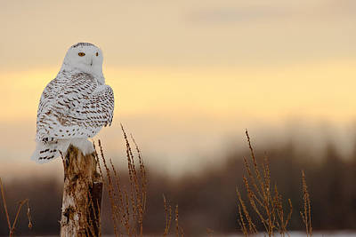 Snowy Owl Pictures 13 Art Print