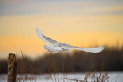 Snowy Owl Pictures 14 Art Print