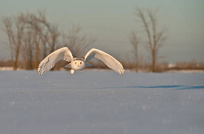 Snowy Owl Pictures 17 Art Print