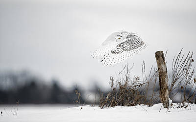 Snowy Owl Pictures 24 Art Print