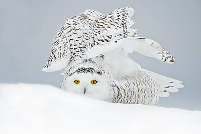 Snowy Owl Pictures 25 Art Print