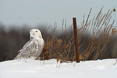 Snowy Owl Pictures 3 Art Print