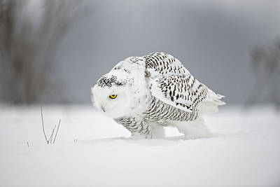 Snowy Owl Pictures 20 Art Print
