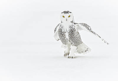 Snowy Owl Pictures 21 Art Print