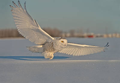 Snowy Owl Pictures 6 Art Print