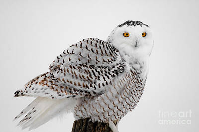 Photograph - Snowy Owl Pictures 8 by Michael Cummings