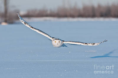 Photograph - Snowy Owl Pictures 9 by Michael Cummings