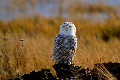 Photograph - Snowy Owl Portrait by Shari Sommerfeld