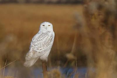 Stratford Photograph - Snowy Owl Portrait by Stephanie McDowell