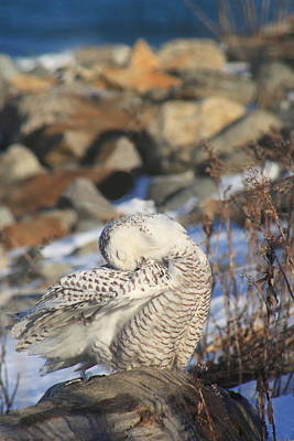 Photograph - Snowy Owl Preening On Rocky Beach by John Burk