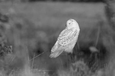 Stratford Photograph - Snowy Owl Resting  by Stephanie McDowell