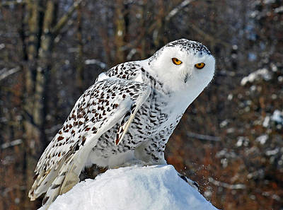 Photograph - Snowy Owl by Rodney Campbell