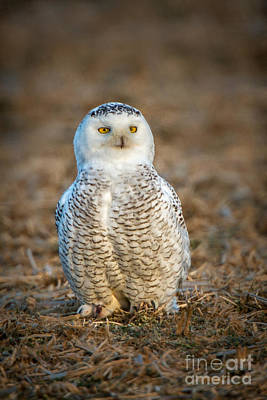 Photograph - Snowy Owl by Ronald Lutz