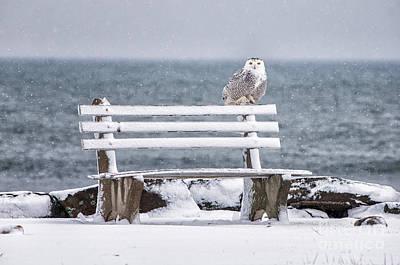 Snowy Owls Wall Art - Photograph - Snowy Owl Rye N H by Scott Thorp