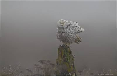 Photograph - Snowy Owl Shaking by Daniel Behm