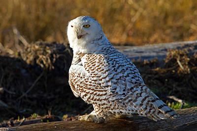 Photograph - Snowy Owl by Shari Sommerfeld
