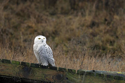 Photograph - Snowy Owl by Sharon Talson