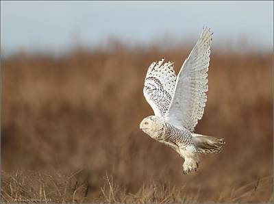 Photograph - Snowy Owl Taking Flight by Daniel Behm