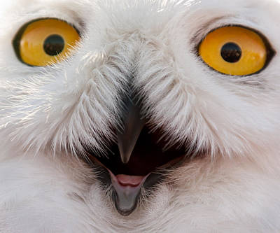 Snowy Owl Up Close And Personal Art Print by Laura Duhaime