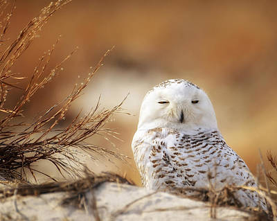 Snowy Owl Up Close Art Print by Vicki Jauron