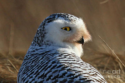 Photograph - Snowy Owl V by Butch Lombardi