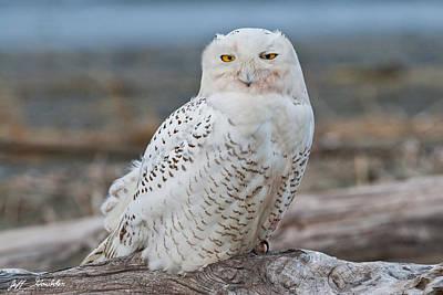 Snowy Owl Watching From A Driftwood Perch Art Print