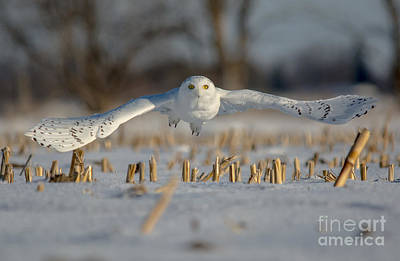 Photograph - Snowy Owl Wingspan by Cheryl Baxter