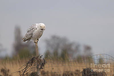 Photograph - Snowy Owl Yawning by Sharon Talson