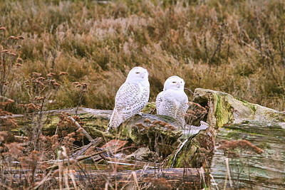 Snowy Owls At Boundary Bay Art Print by Peggy Collins