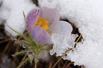 Snowy Pasqueflower Art Print