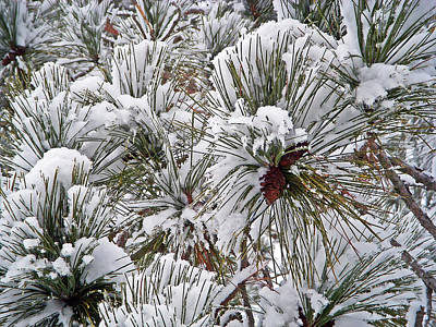 Christmas Photograph - Snowy Pine Needles by Aimee L Maher Photography and Art Visit ALMGallerydotcom