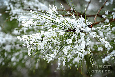 Snowy Photograph - Snowy Pine Needles by Elena Elisseeva