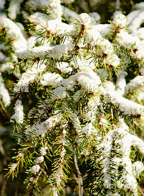 Photograph - Snowy Pines by Donna Greene