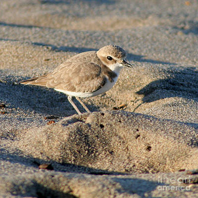 Print featuring the photograph Snowy Plover by Bob and Jan Shriner