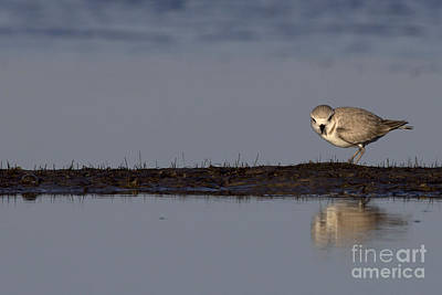 Photograph - Snowy Plover On A Sandbar by Meg Rousher