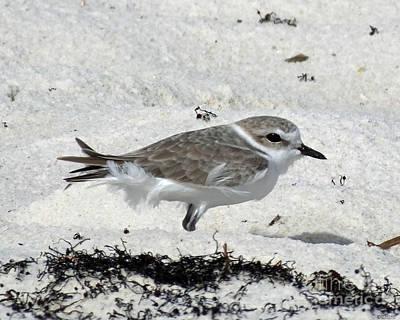 Photograph - Snowy Plover On Beach At Perdido Key Fl by Lizi Beard-Ward