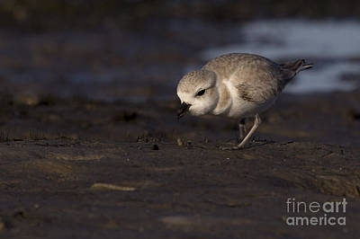 Photograph - Snowy Plover On The Hunt by Meg Rousher