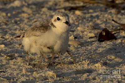 Photograph - Snowy Plover Transforms Into A Spiderbird 2 by Meg Rousher