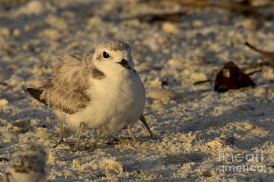 Photograph - Snowy Plover Transforms Into A Spiderbird 3 by Meg Rousher