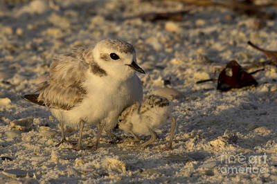 Photograph - Snowy Plover Transforms Into A Spiderbird 4 by Meg Rousher