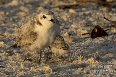 Photograph - Snowy Plover Transforms Into A Spiderbird 5 by Meg Rousher