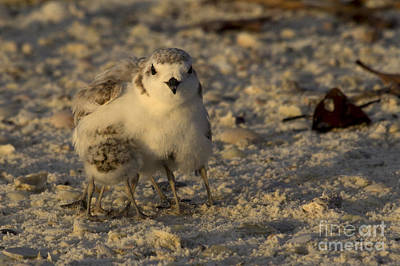 Photograph - Snowy Plover Transforms Into A Spiderbird 7 by Meg Rousher