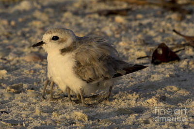 Photograph - Snowy Plover Transforms Into A Spiderbird 8 by Meg Rousher