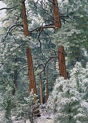 Snowy Ponderosa Pines Art Print by Tim Fitzharris