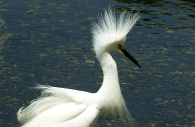 Labelle Photograph - Snowy Punk Egret by Lorenzo Williams