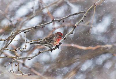Snowy Red - Cassins Finch - Casper Wyoming Original
