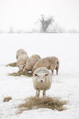 Snowy Sheep Art Print by Anne Gilbert
