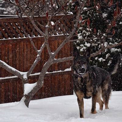 Snowy Shepherd Art Print