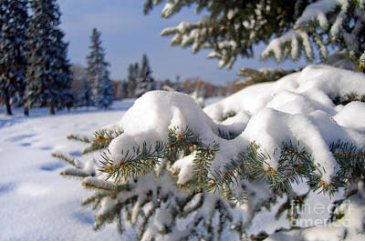 Photograph - Snowy Spruce Tree 3 by Terry Elniski