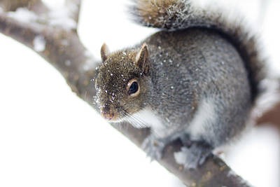 Snowy Squirrel Art Print by Shane Holsclaw
